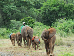 ナイロビ国立公園に隣接のシェリドリックさんのゾウの孤児院。時間が来ると飼育員に連れられて森から出てきます。