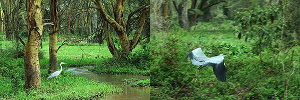 雨後の森にはいろいろな生き物が・・。アオサギが魚を狙っていました。