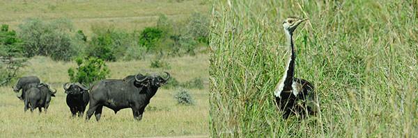 左 : まだ眺めています。仲間が複数集まり出します。バッファローは復讐の草食獣。ライオンに立ち向かうかどうか待ちたいところでしたが、時間切れ。 右 : クロハラチュウノガン。 草むらからヒョイと顔を出します。