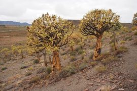 """かつて南部アフリカ全域に暮らしていた狩猟採集民サンの人々が、その枝を折って中身を刳り貫き、矢を入れる""""矢筒""""として利用したことから、クイバーツリー(矢筒の木)と呼ばれている、アロエの一種です。"""