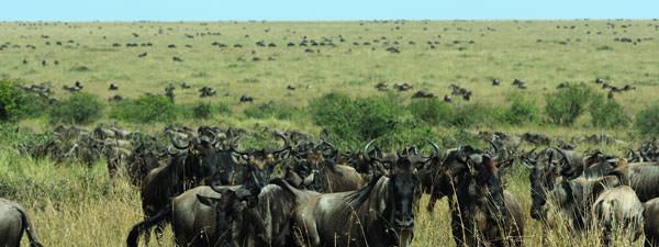 ヌーがタンザニアから上がってきているが、昨年に比べて集団の密度が低い。草丈もまだまだ高い水準で、ヌーにもっと食べて貰わなければ!