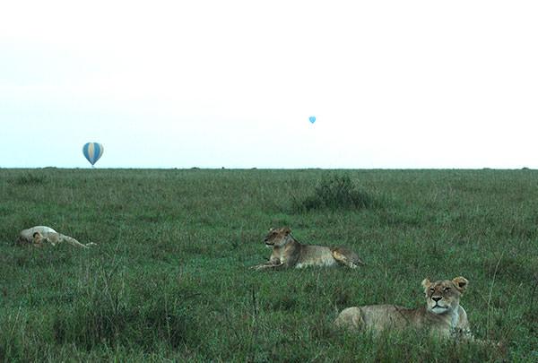 旅は大地溝帯を横切ってマサイマラ国立保護区に入ります。マサイマラでは道祖神の得意技、3連泊。緑が多い風景には驚きです。しかも草丈が低いのです。これからの雨で伸びてくるのでしょうか。ライオンが居ないとね。