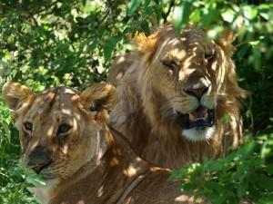 まだ若いライオンカップル 少し眠い?