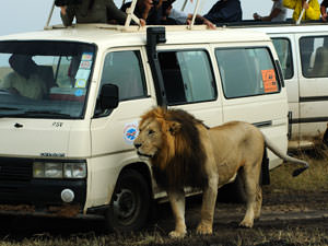 マサイマラ、6月ライオンと同じ固体のようだ。車に慣れすぎていないか・・・