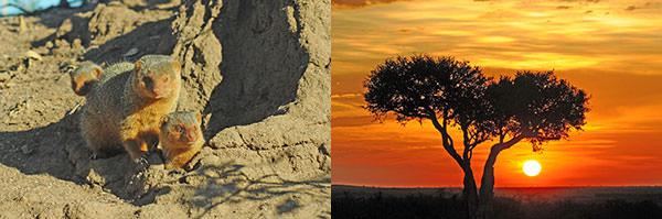 左 : コビトマングース。警戒心が強い彼らに対抗してしばらく、しばらーくシャッターチャンスを待ちました。 右 : オルケリキャンプ近くの夕日です。ほんとの夕日です。