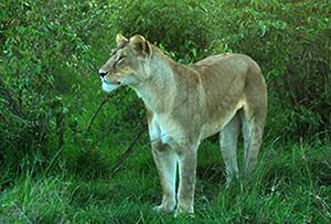 気温が低く、雨が多く水っぽい草原ではネコ科の動物たちはなんとなくエネルギー不足です。メスライオンがひょっこり顔を出しました。
