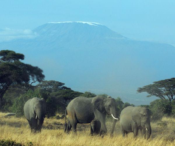 8月にしてはキリマンジャロがすっきりと姿を見せてくれ、ゾウもお決まりの位置についてくれました。それにしても埃っぽい。山頂の雪/氷の面積は4月に比べると相当小さい。