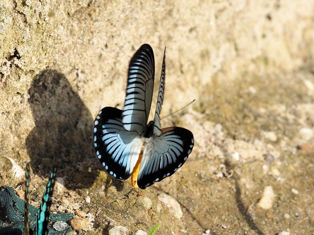 珍蝶ザルモクシスオオアゲハ