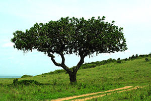 ソーセージツリー。ヒョウが好む木(寝ころぶために)・・・らしい。