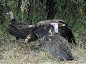 ズキンハゲワシとソウゲンワシ 欧州系の観光客を乗せたサファリカーが去った後、妙に鳥が集まっていたので近寄ってみると、弁当の残りがばら撒かれていたのでした。突っ込んできたソウゲンワシの足はしっかりとチキンのもも肉を掴んでいるじゃありませんか。