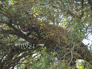 樹で休むヒョウ。