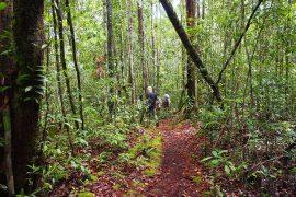 原生林の他、かつてはアブラヤシのプランテーションだった二次林もオランウータンの生息地になっています。