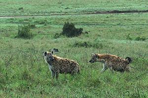 ブチハイエナ。いつでもどこでも見られると思っていると、意外に見られないこともありますので要注意動物。ハイエナは狩り上手、とはいかなくてもライオンよりは上手らしいですよ。