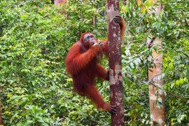 大概の固体は、餌を抱えてすぐに安全な樹上に戻ります。