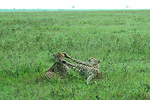 チーターのネコパンチ!!同じ兄弟を別なところで見ました。やっぱりごろごろごろごろ。チーターは草原の哀しいハンター、とも表現されます。身を隠すところもないところで獲物を狙い更に自身の身を守らなければならないのです。子供が人間に密漁され、ハイエナにライオンに、他の肉食獣から狙われるし、人に慣れる動物なものだから、どこかのタレントと一緒に走らされたりしてしましたね。