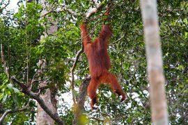 名前どおりの「樹上の人」らしい行動も見られます。見事な樹上移動。
