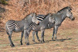 ザンビア周辺固有のクロウシェイズシマウマ
