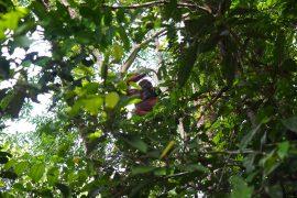 餌場から遠く離れ、開けていない森ではこんな感じでオランウータンが見られます。