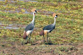 Grey Crowned-Crane(ホオジロカンムリヅル)