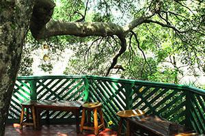 ロッジ内にある大きなイチジクの木。精霊が宿る木のはずですが、木の中腹に展望台があります。Barらしいです。