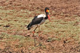 Saddle-billed Stork(クラハシコウ)