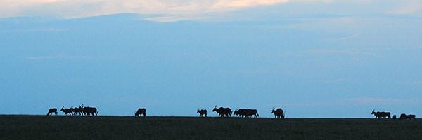 エランド(一番大きな野生の牛)がサバンナから見送ってくれます。グループはナイロビ空港に向かいました。