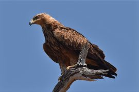 Tawny Eagle(アフリカソウゲンワシ)