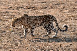 38-Leopard_05