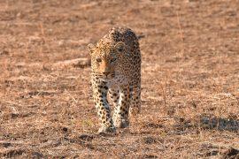 40-Leopard_02