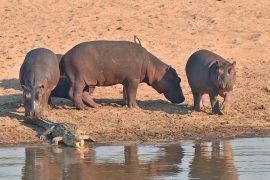 42-Hippopotamus01