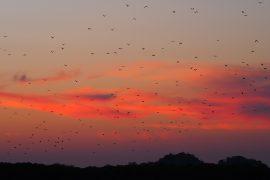 日没近く、18時15分くらいになると、数十万匹のオオコウモリが食事のために飛び立っていくフライング・フォックス・アイランド。