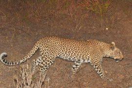 45-Leopard_07