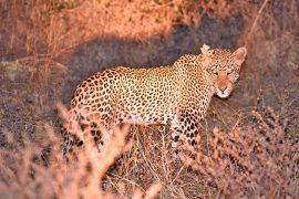 46-Leopard_08