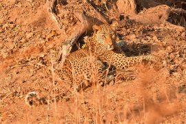48-Leopard_11