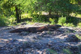 動かず、じっとしているためパッとみると岩か何かのように見えるコモドドラゴン。
