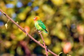 Lilian's Lovebird(ボタンインコ)