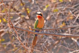 White-fronted Bee-eater(シロビタイハチクイ)