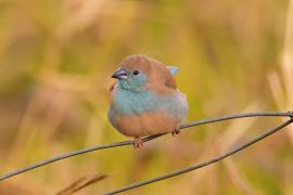 Blue-breasted Cordonbleu(フナシセイキチョウ)