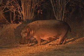 58-Hippopotamus02