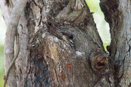幼獣は、成獣に捕食されるのを防ぐため、孵化してすぐ木に登り、ある程度大きくなるまで樹上で生活します。