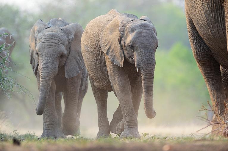 アフリカゾウは静かに歩く