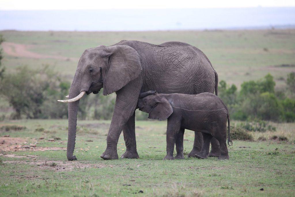 おっぱいをせがむ子供の象
