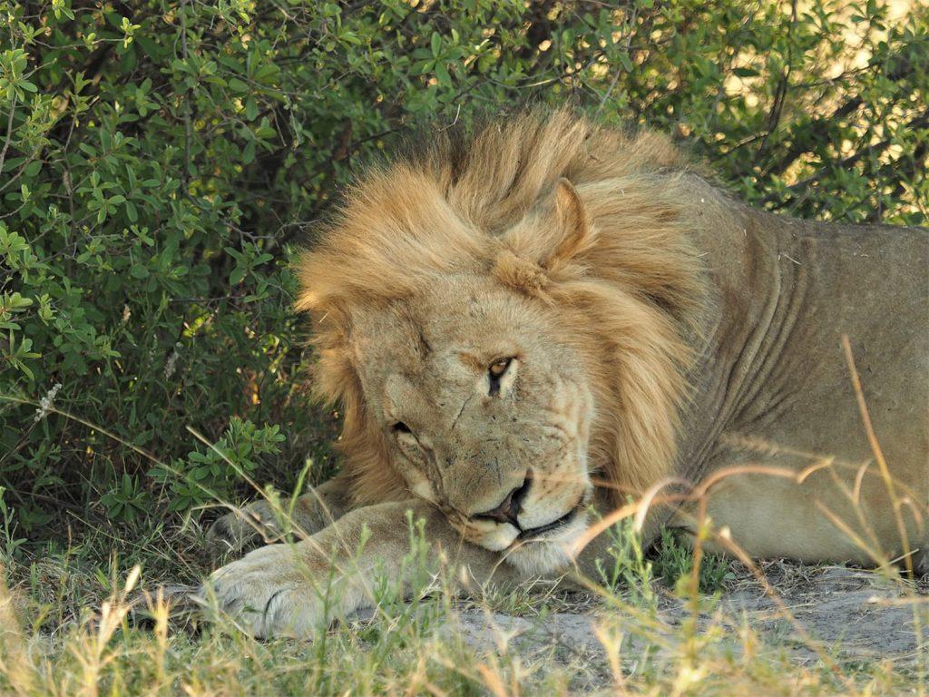 ライオンも満腹時は穏やかな表情を見せてくれます。