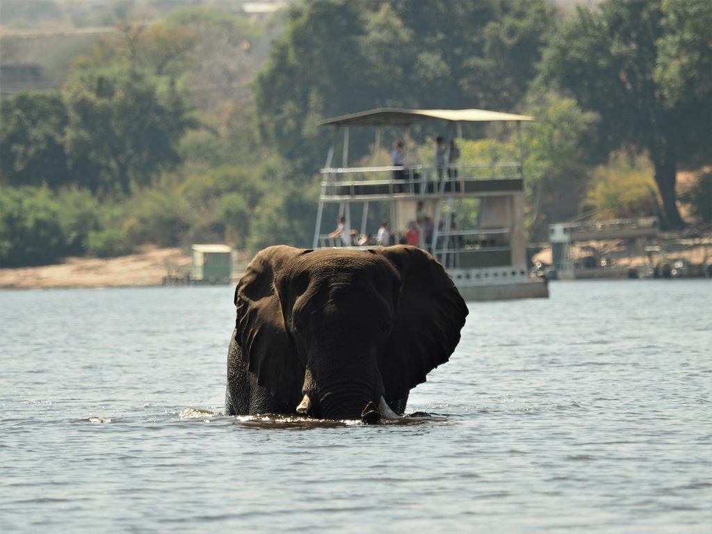 チョベ河の名物はゾウの河渡りです。