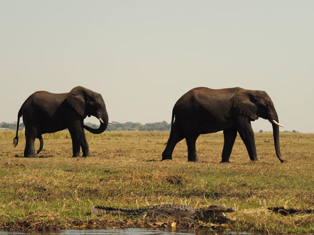 ゾウが無事にチョベ河を渡り切った先にはワニがいました。