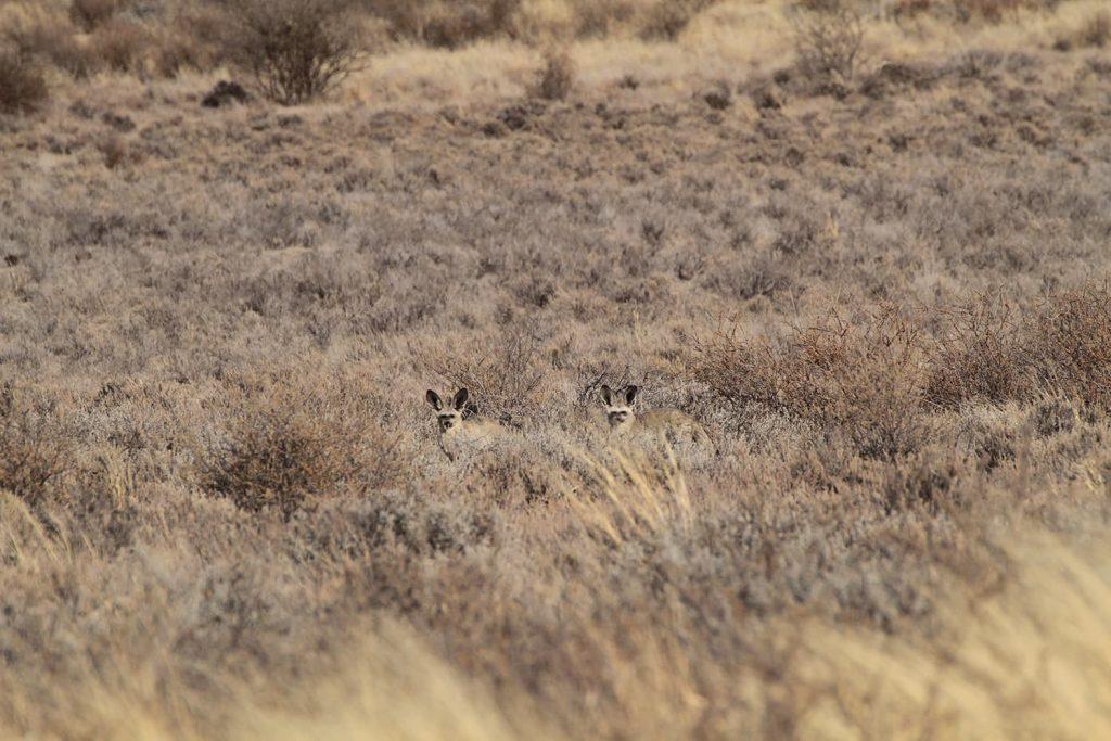 草から顔を出すかわいらしいオオミミギツネ