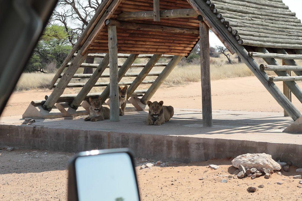 人のいないキャンプサイトで休んでいたカラハリライオンの兄弟1