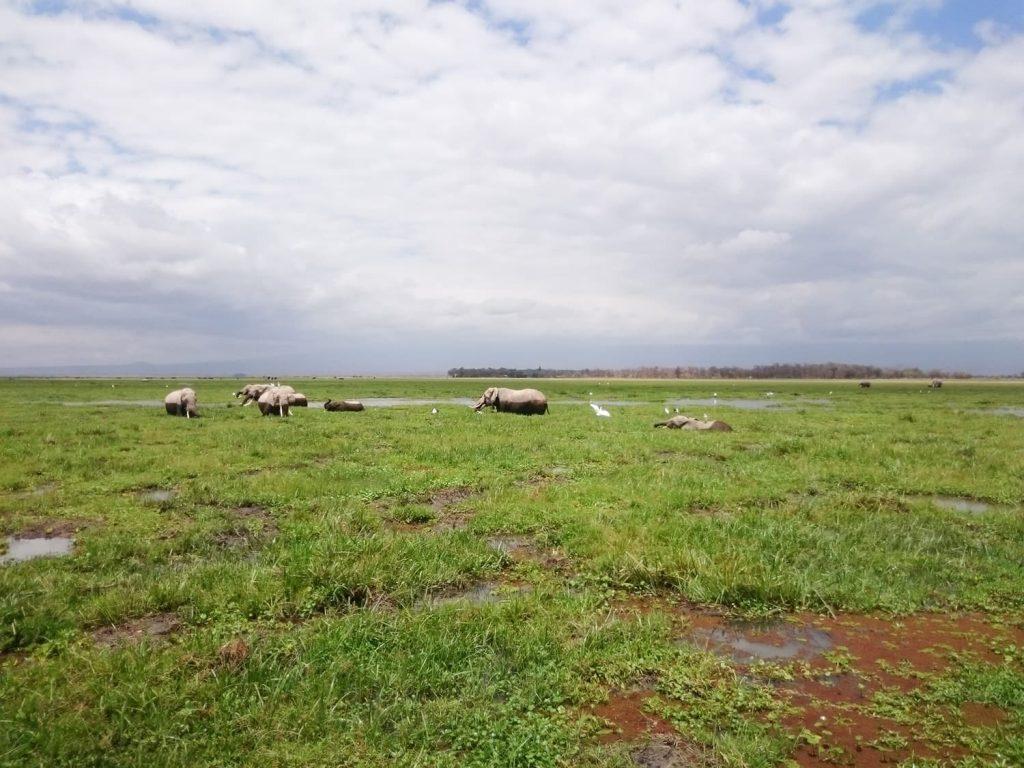アンボセリ公園内にはキリマンジャロからの湧き水でできた湿地帯が所々にあり、動物たちが水場を求めてやってきています。