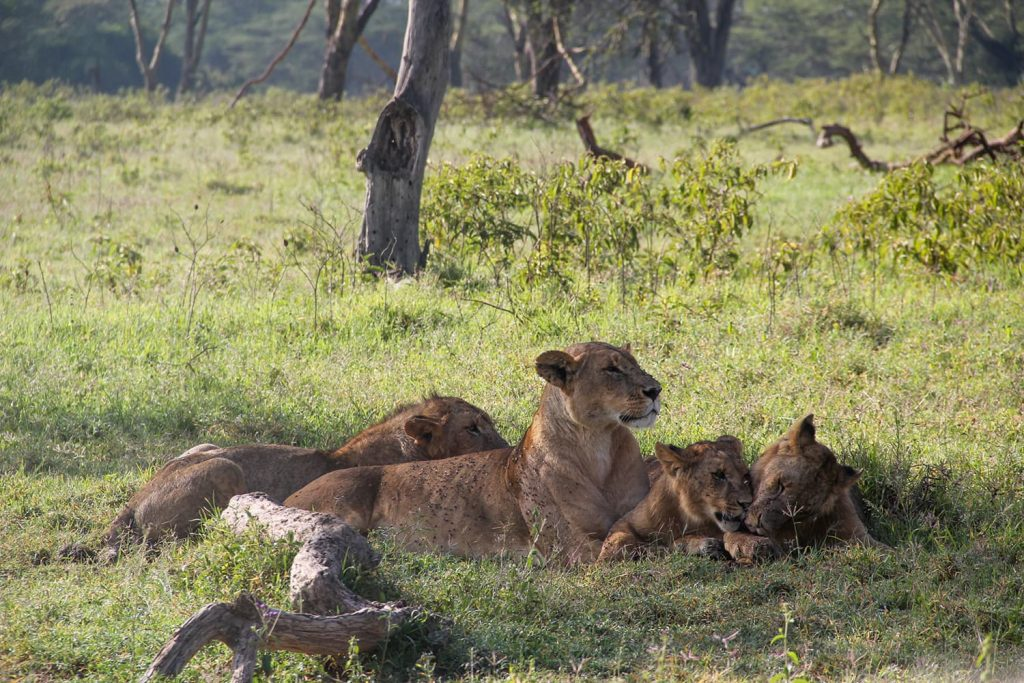 ライオンの親子にも遭遇。お母さんに甘える子どもたちの姿に癒されます。