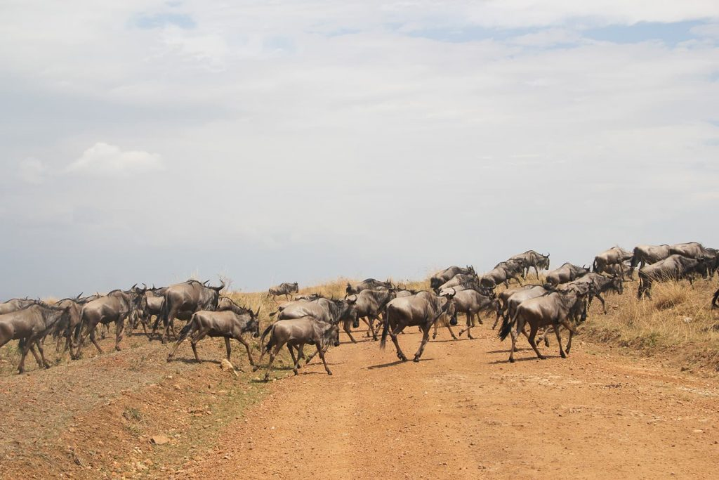 タンザニア側からヌーやシマウマたちがマサイ・マラにやってくるシーズンで、ヌーの群れも途中見かけました。
